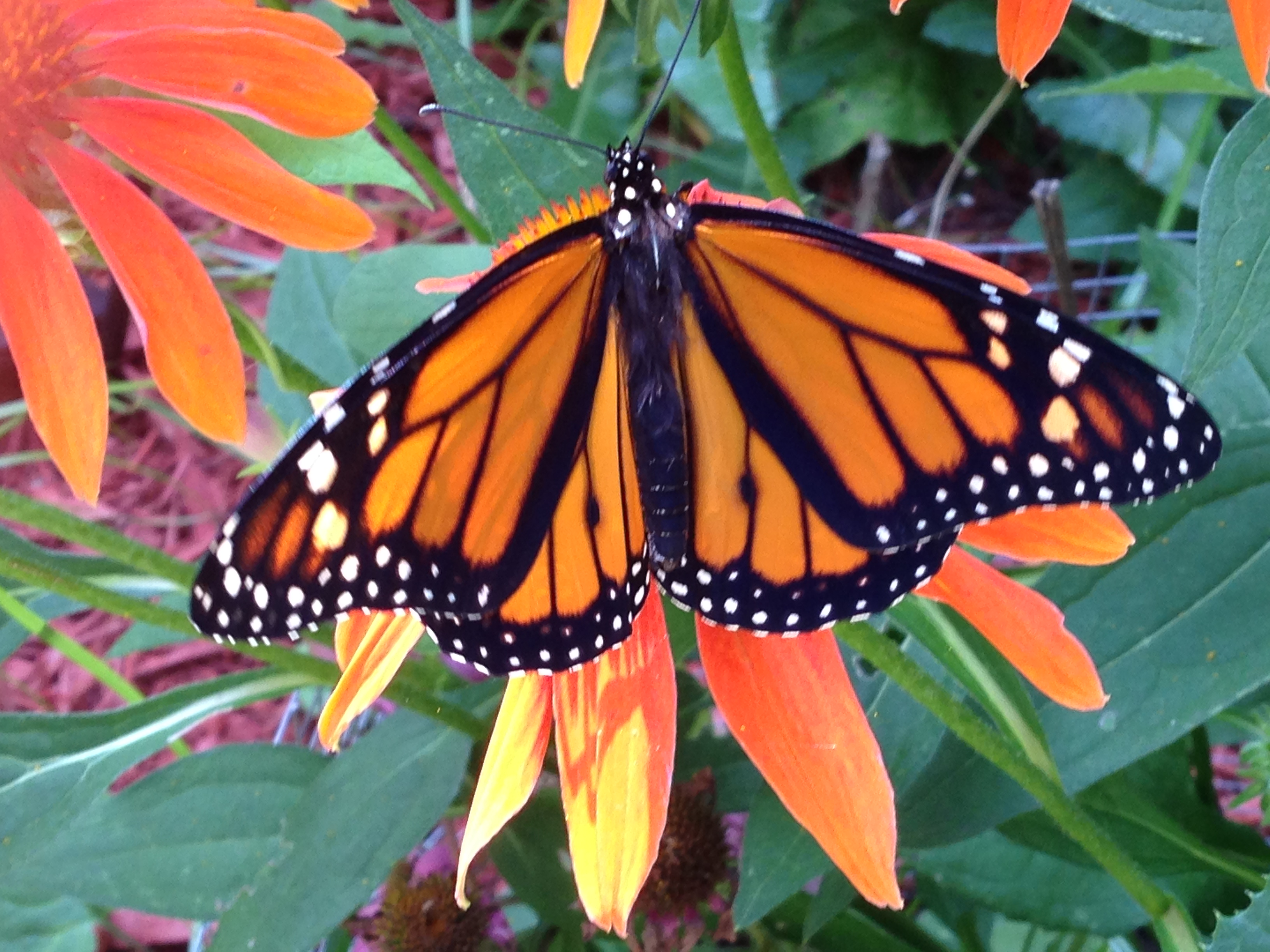 Monarchs, Monarchs, and More Monarchs: Introducing Monarch Lady!